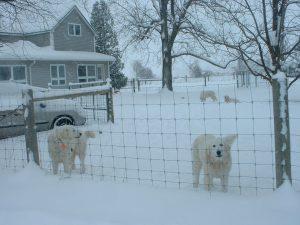 livestock guardian dogs (LDG's)