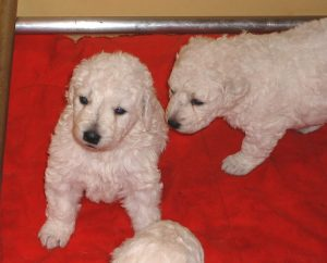 Selecting A Kuvasz Puppy Huron Kennels