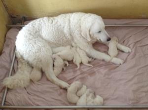 Huron Kennels, Kuvasz Puppy, Kuvasz Dog, Kuvasz Price, Kuvasz Temperament, Kuvasz Price, Kuvasz Hungarian Bloodline