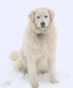 Huron Kennels, Kuvasz Puppy, Kuvasz Breeders, Kuvasz Price, Kuvasz Guardians