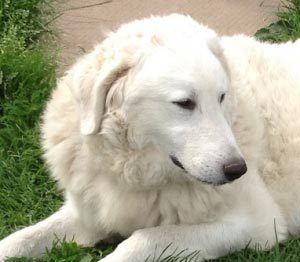 Female Kuvasz Princess