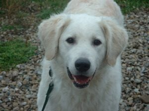 Huron Kennels, Kuvasz Puppy, Kuvasz Breeders, Kuvasz Puppies For Sale, Kuvasz Size, Kuvasz Temperament, Livestock Guardian Dogs, Kuvasz Guardians