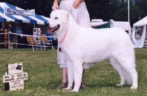 Livestock Guardian Dog Diamond