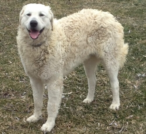 Huron Kennels, Kuvasz Puppy, Kuvasz Dog, Kuvasz Price, Kuvasz Temperament, Kuvasz Price, Kuvasz Hungarian Bloodline