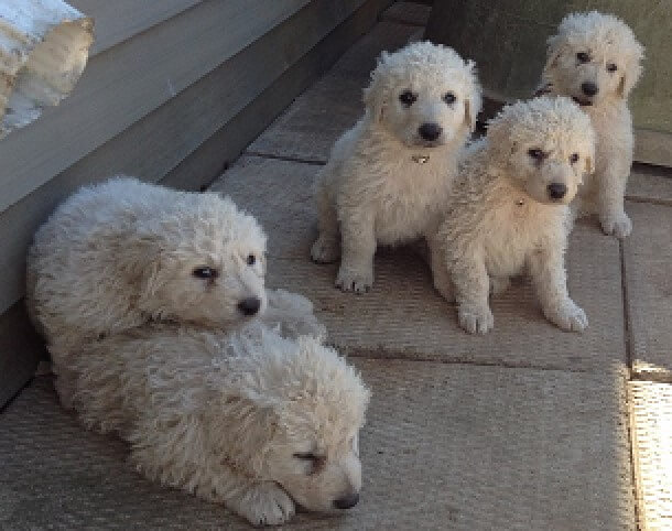 Kuvasz, livestock guardian dogs and puppies, buy guardian dogs, Kuvasz guardian dogs, Kuvasz litter, male Kuvasz, female Kuvasz, Kuvasz puppies