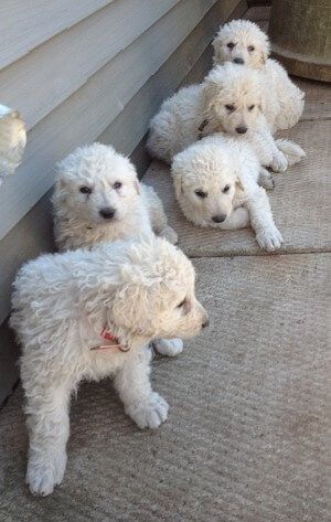 livestock guardian dogs and puppies, buy guardian dogs, Kuvasz guardian dogs, Kuvasz, Kuvasz litter, male Kuvasz, female Kuvasz, Kuvasz puppies